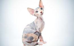 Funny sphinx cat