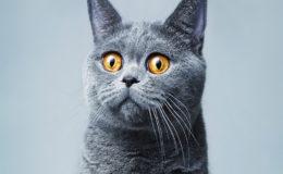Beautifu funnyl home gray British cat