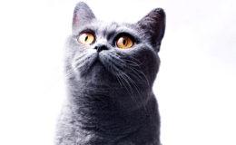 Beautifu funnyl home gray British cat with yellow eyes